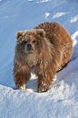 Captive: Kodiak Brown Bear Female Cub Stands On A Snowy Hill, Alaska Wildlife Conservation Center, Southcentral, Alaska, Winter