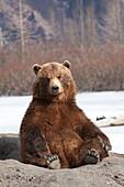 Captive: Brown Bear Sits On Its Rump At Alaska Wildlife Conservation Center, Southcentral Alaska, Spring