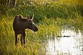 Moose Calf Feeding Along The Tony Knowles Coastal Trail During Late Summer, Anchorage, Southcentral Alaska