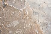 'Close up of a trilobite fossil in a rock;Field british columbia canada'