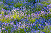 'Rows of lavender plants in a field in the cowichan valley;Vancouver island british columbia canada'