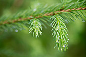 'Water drops on the branch of a pine tree;Lake of the woods ontario canada'