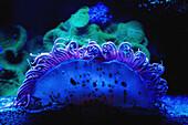 'Blue coral underwater;Israel'