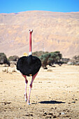 'Ostrich walking towards the camera;Israel'