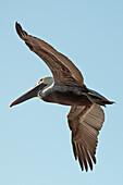'A bird in flight;Gulf shores alabama united states of america'