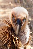 'Griffon vulture (gyps fulvus);Israel'