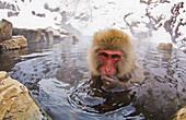'Japanese Macaque Soaks In A Hotspring In The Mountains Of Central Japan; Yudanaka Nagano-Ken Japan'