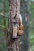 'Squirrel climbing on a tree trunk to reach the bird feed;Northumberland england'