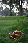 'A unique shaped fungi in the grass;Perthshire england'