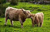'Highland cattle and calf;Highlands scotland'