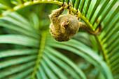'Pygmy marmosets native to ecuador are the smallest primate;Guayaquil ecuador'