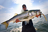 'A man holds a fresh caught striped bass; boston massachusetts united states of america'