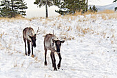 'Woodland caribou (rangifer tarandus caribou);Yukon wildlife preserve'