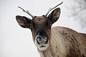 'Woodland caribou (rangifer tarandus caribou) yukon wildlife preserve;Yukon canada'