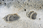 'Bear paw prints in snow in denali national park;Alaska united states of america'