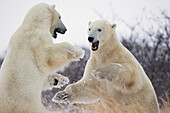 'Polar bears (ursus maritimus) play fighting along the shores of hudson's bay;Churchill manitoba canada'