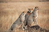 'Three cheetahs standing together with a watchful eye in the maasai mara national reserve;Maasai mara kenya'