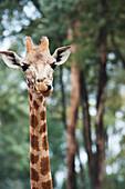 'Giraffe in the giraffe centre;Nairobi kenya'