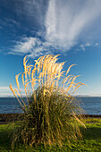 'Tall grasses growing at the water's edge;Dumfries and galloway scotland'