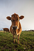 'A cow staring at the camera;Dumfries and galloway scotland'