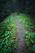 'A small opening on a path winding through a dense spruce forest;Kananaskis, alberta, canada'