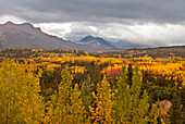 'Storm clouds above golden and red aspens (populus tremuloides) and spruce forest (boreal forest), denali national park;Alaska, united states of america'
