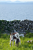 'A horse and calf standing beside a stone wall at the water's edge;County clare, ireland'
