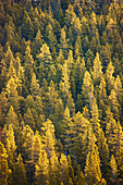 'Evergreen tree in yellow and green along side the alaska highway in early spring, stone mountain provincial park;British columbia, canada'