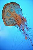 'Jellyfish underwater;Vancouver british columbia canada'