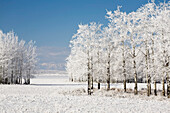 'Two groupings of frost covered trees in a snow covered field with mountains in the background and blue sky;Alberta canada'