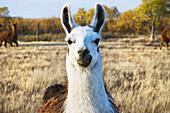 'Llama on a farm;Saskatchewan canada'