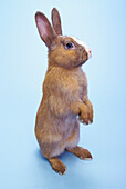 'Brown rabbit standing with a blue background;British columbia canada'