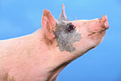 'Pig with a blue background;British columbia canada'