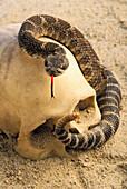 'Northern rattlesnake (crotalus horridus) coiled around human skull;British columbia canada'