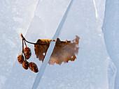 'Alder leaf encased in lake ice and then split in half when crack formed;Pasagshak kodiak island alaska united states of america'