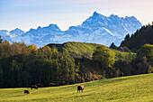 'Cattle grazing in a field near leysen;Lieux suisse switzerland'