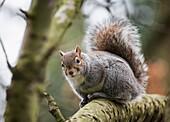 'A grey squirrel in a tree;Middlesborough teeside england'