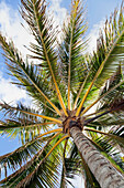 'Beautiful palm tree detail seen from below;Honolulu oahu hawaii united states of america'