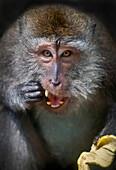 'A monkey eating a banana;Ubud bali indonesia'