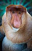 'Proboscis monkey (nasalis larvatus);Borneo'