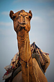 'A camel loaded with supplies on it's back;Jaisalmer india'