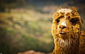 'A llama;Cuzco peru'