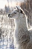 'A llama backlit in winter;Alberta canada'