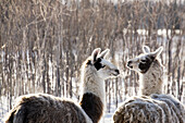 'Two llamas with trees in a snow covered area;Alberta canada'