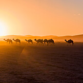 Camels walking across an arid landscape at sunset