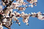 'Close up of blossoms on a flowering fruit tree with blue sky;Vineland ontario canada'
