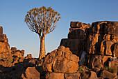 'Quiver tree and rock wall at sunset;Namibia'