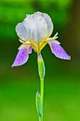 'Close up of an iris;Ohio united states of america'