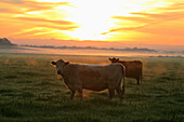 Livestock - Crossbred beef cattle on a green pasture at sunrise / near Thornton, California, USA.