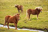 'Icelandic Horses Grazing; Vidimyri, Skagafjordur, Iceland'